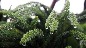 Araucariaceae qui est imbibé de la pluie L'Araucariaceae sont plein des gouttelettes aqueuses des feuilles photo stock
