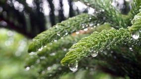 Araucariaceae qui est imbibé de la pluie L'Araucariaceae sont plein des gouttelettes aqueuses des feuilles images stock
