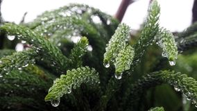 Araucariaceae that is soaked with rain. Araucariaceae are full of watery droplets of leaves. Araucariaceae that is soaked with rain. Araucariaceae are full of Stock Photo