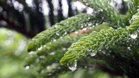 Araucariaceae that is soaked with rain. Araucariaceae are full of watery droplets of leaves. Araucariaceae that is soaked with rain. Araucariaceae are full of Stock Images