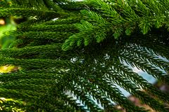 Araucariaceae  tree plant nature closeup. Nature green branch background leaf pine species Royalty Free Stock Photos
