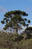 araucariaen sörjer trees Arkivbild