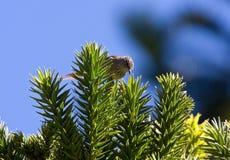 Araucariameesstekelstaart, Araucaria Tit-Spinetail, Leptasthenura setaria stock images