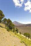Araucarias在Malalcahuello公园,智利 库存照片