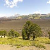 Araucarias在Malalcahuello公园,智利 免版税图库摄影