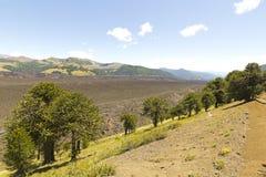 Araucarias στο πάρκο Malalcahuello, Χιλή Βιο βιο περιοχή Στοκ Εικόνες