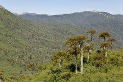 Araucarias на Conguillio Стоковая Фотография RF