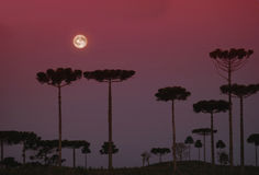 araucarias Стоковое Изображение