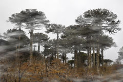 Araucarias Στοκ Εικόνες