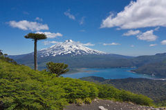 Araucarias against the background of Llaima volcano. In Conguillio National Park in Chile Stock Photo