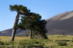 Araucarias. Araucaria is a magnificent tree that grows in the Cordillera de los Andes. It is also a sacred tree of the Mapuche ethnic group Stock Photo