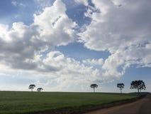 Araucarias. Araucaria trees (Araucaria angustifolia) in rural Tamarana County, State of Parana, Brazil Royalty Free Stock Photo