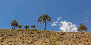 Araucarias-Baum in Malalcahuello-Park, Chile Lizenzfreies Stockfoto