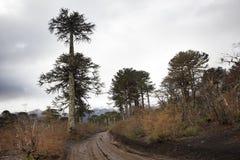Araucarias-Baum Melipeuco chile Lizenzfreie Stockfotos