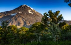 Araucarias Forest at the base o volcano Lanin. Centenary trees Stock Photos