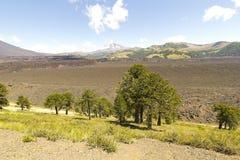 Araucarias in Malalcahuello Park, Chile Stock Photo