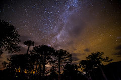 Araucarias. Stars view of araucarias forest at Malalcahuello, Chile Stock Images