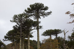 Araucarias. Tree. South of Chile Royalty Free Stock Images