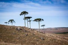 Araucarias van het zuiden van Brazilië Stock Fotografie