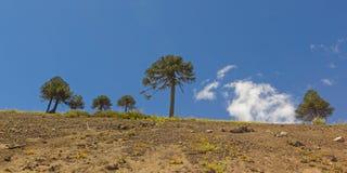 Araucariasboom in Malalcahuello-Park, Chili Royalty-vrije Stock Foto
