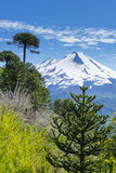 Araucariaskog i den Conguillio nationalparken, Chile arkivbilder
