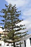 Araucariaträd i mitten av Frigiliana - spansk vit by Andalusia Royaltyfria Bilder