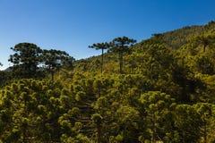 Araucariaträdskog royaltyfria bilder