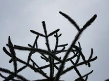 Araukaria, δέντρο γρίφων πιθήκων Στοκ Εικόνα