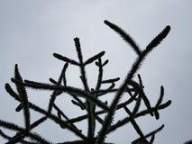 Araukaria, de boom van het aapraadsel Stock Afbeelding