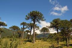 Araukaria, symbol Chile obrazy royalty free