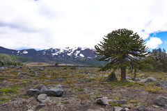 Araukaria w conguillÃo parku narodowym w Chile Zdjęcie Royalty Free