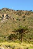 Araukarie araucana stockfotografie