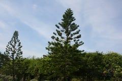 Araukarie heterophylla im Garten über blauem Himmel stockbilder