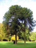 Araukarienbäume stockbilder