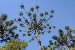 Araukarii angustifolia Brazylijska sosna Itaimbezinho jar przy Aparados da Serra parkiem narodowym - rio grande robi Sul, Brazyli Zdjęcie Royalty Free