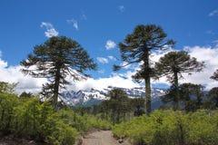 Araukarii araucana drzewa w conguillÃo parku narodowym w Chile Obraz Stock