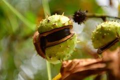 Arautos da castanha que vêm mais perto no outono fotos de stock royalty free