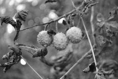 Arautos da castanha que vêm mais perto no outono imagens de stock