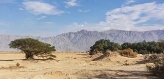Arava Desert Vegetation neat Yotvata in Israel stock image