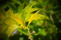 Aravane-Blätter Lizenzfreie Stockfotos