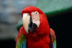 Aravogel Royalty-vrije Stock Foto's