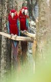 Aravogel voor het wachten aan praktijkvlieg die wordt neergestreken stock fotografie