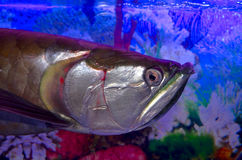 Arawano-Fische Lizenzfreie Stockfotos