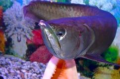 Arawano-Fische Lizenzfreie Stockfotografie