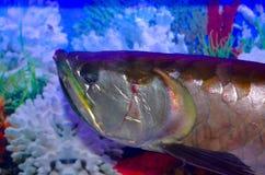 Arawano fisk Fotografering för Bildbyråer