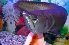 Arawano fisk Royaltyfri Fotografi