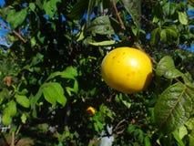 Araza - Fruit stock afbeelding