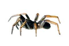 arbanitis pająk pospolity pająka trapdoor Zdjęcie Royalty Free