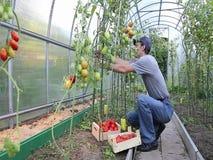 Arbeider die de tomatenstruiken in de serre verwerken stock video