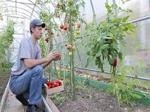 Arbeider die de tomatenstruiken in de serre verwerken stock videobeelden